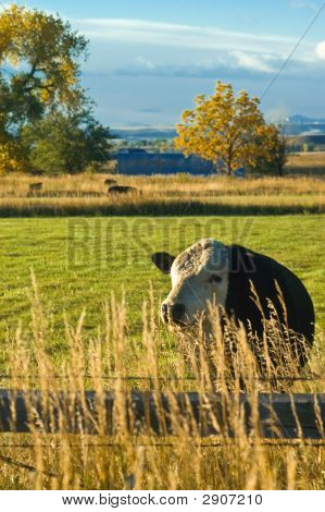 Cow Grazing In Field During Autumn