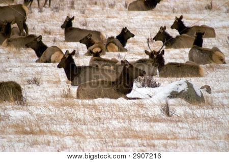 Elk Herd In Winter