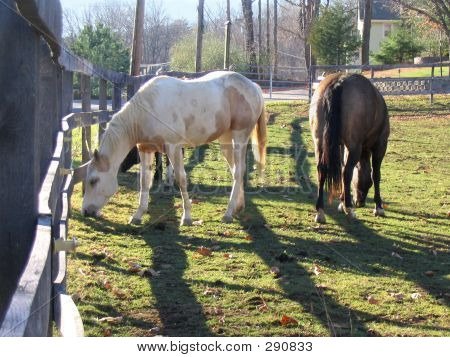Horses Feeding On Grass