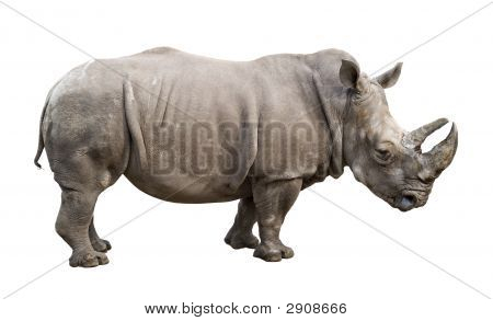 White Rhino Old Male Cutout