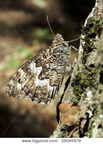 Butterfly Vanessa Atlanta