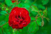 Red Rose As A Natural And Holidays Background. Focus On Blossom Red Rose Flower On Blurred Green Lea poster