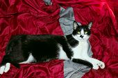Tuxedo Cat Over Red Background. Cat Take A Rest In The Bed. Animals, Pets Concept. Cropped Shot Of A poster