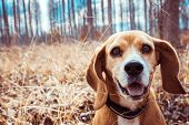 Funny Portrait Of Pure Breed Beagle Dog. Big Ears Listening Or Hear Concept. Beagle Close Up Face Sm poster