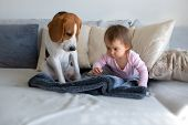 Dog With A Cute Baby Girl On A Sofa. Beagle Sitting Next To Cute Baby Girl On Blanket In Living Room poster