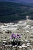 Bush Sleep-grass, Sleep-grass Growing On Top Of The Mountain, Mountain Landscape, Spring Time, Mount poster