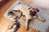 Pug Dog Feeding Six Puppies At Home. Puppies Sucking Milk. Dog Lying On Carpet With Kids. poster