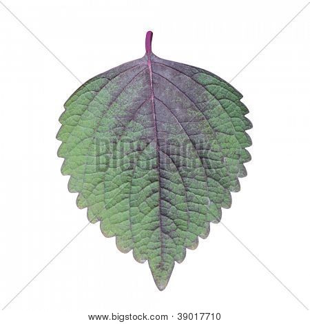 Perilla (Shiso) Leaf isolated on white - path included