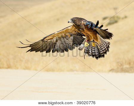*Swainson Hawk Flying