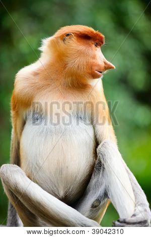 Portrait of proboscis monkey endemic of Borneo island in Malaysia