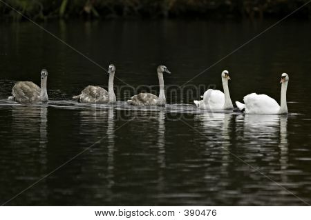 Swan Family Outing