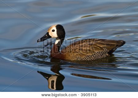 White Faced Duck
