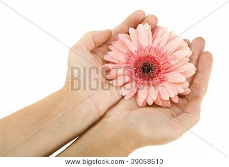 Female Hands With Flower Gerbera