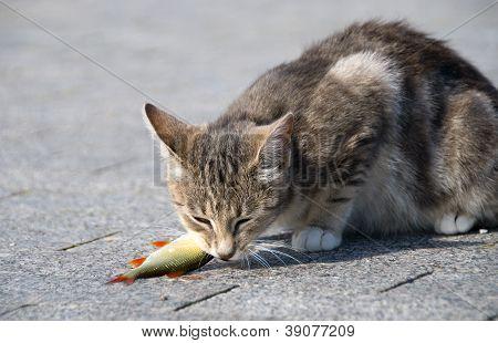 cat eats fish