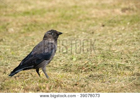 A Jackdaw Stood On The Grass In Sunlight.