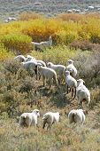 foto of sagebrush  - Sheep grazing in sagebrush during autumn in Utah - JPG