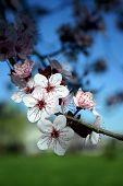 White Flowering Tree (cherry)