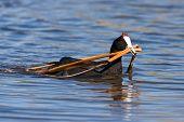 stock photo of bird-nest  - Common Moorhen building a nest in shallow water - JPG