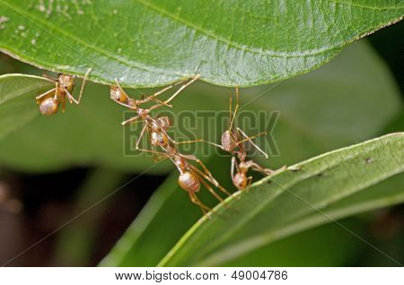 weaver ants are building a nest