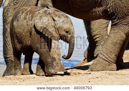 Young Elephant Calf