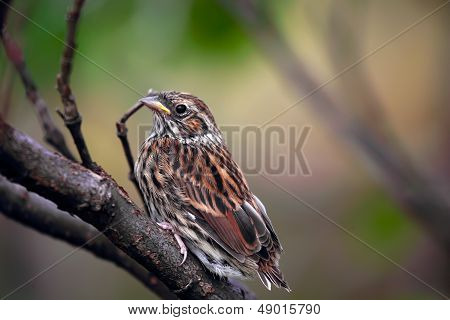 Sedge Warbler nestling, Acrocephalus schoenobaenus