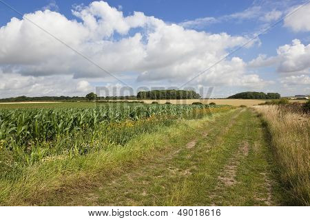 Bridleway With Maize