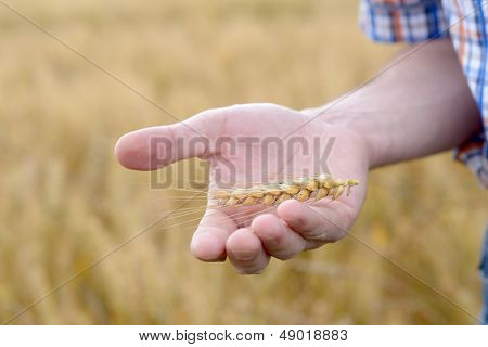 Agronomist holding rye ear on a palm