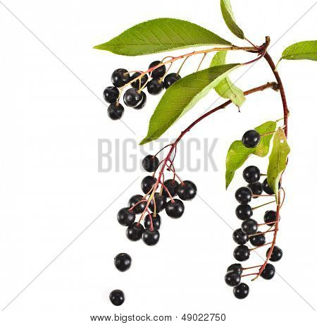The branch of bird-cherry tree (Prunus padus) close up  isolated on a white background