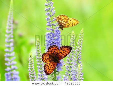 Butterflies On A Meadow