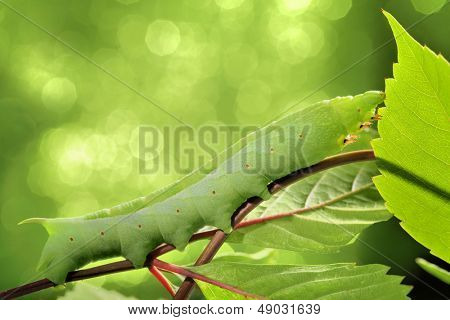 Caterpillar on green leaf,closeup.