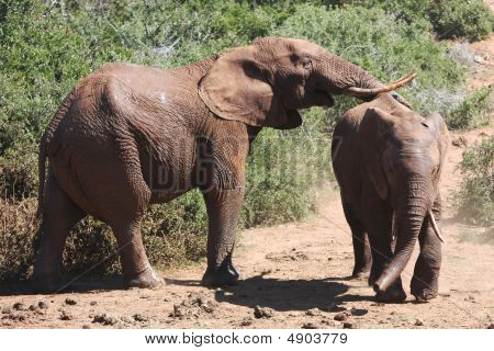 African Elephant Pair