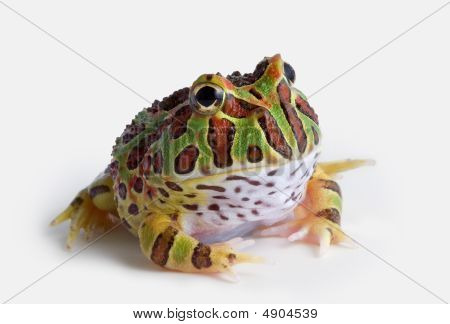 Ornate Horned Frog On White