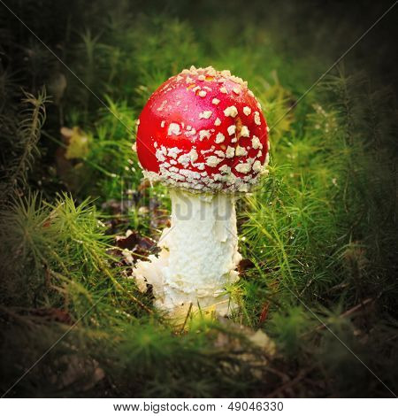 The Fly Agaric or Fly Amanita (Amanita muscaria) is now primarily famed for its hallucinogenic properties.