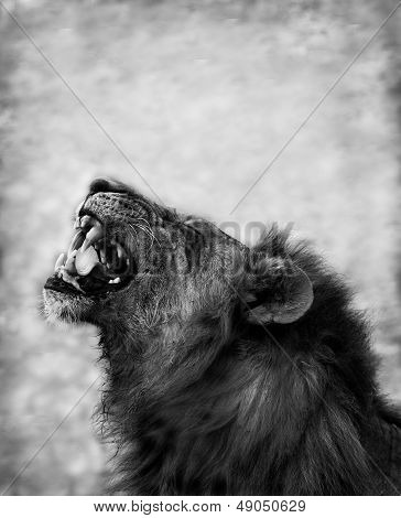 Lion Displaying Dangerous Teeth