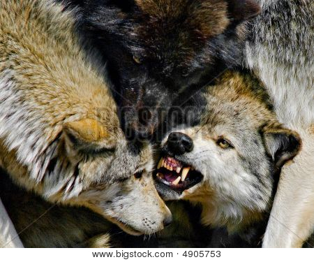 Grey Wolves Fighting