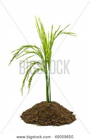 Rice In Soil