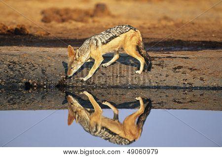 Black-backed Jackal (Canis Mesomelas) at waterhole