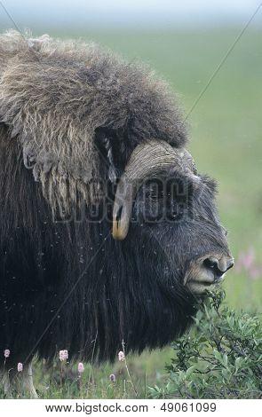 Buffalo close-up of head