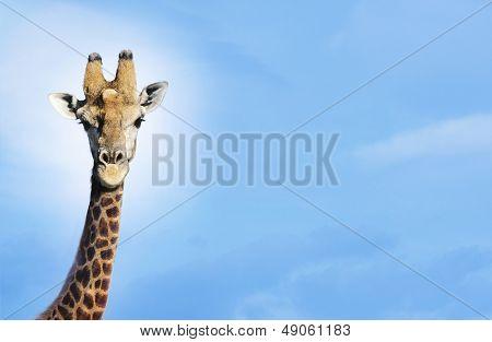 Maasai Giraffe (Giraffa Camelopardalus) against blue sky
