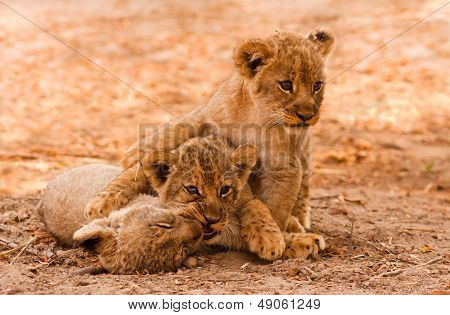 Hübsch Lion Cubs