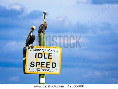 Two brown pelicans roosting on signboard