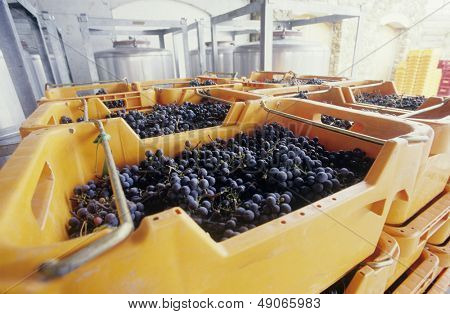 Wine grapes ready for crushing Yarra Valley Victoria Australia
