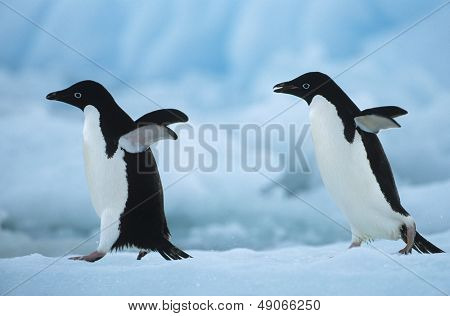 Two Penguins on snow