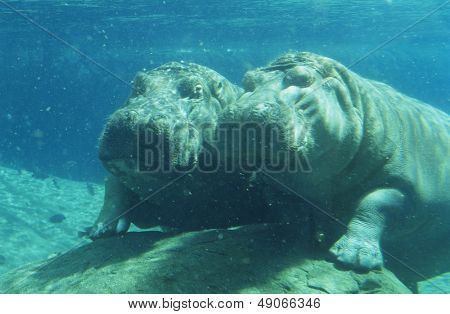 Two Hippopotami (Hippopotamus Amphibius) bathing in waterhole