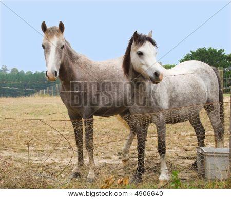 Two Grey Ponies