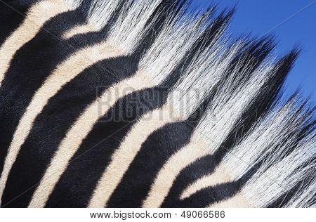 Zebras maine close-up