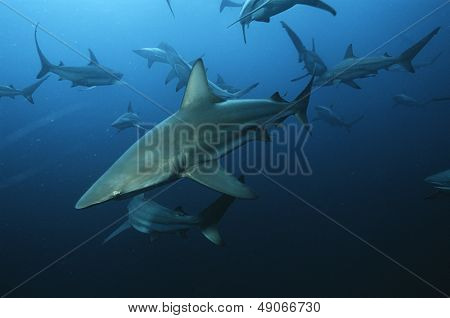 Aliwal Shoal Indian Ocean South Africa blacktip sharks (Carcharhinus limbatus) swimming in ocean