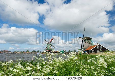 Wild flowers in front of windmills at the Dutch Zaanse Schans
