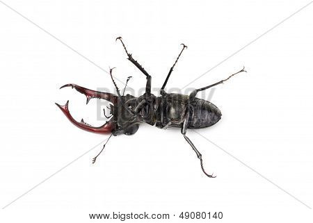 Dead Brown Stag Beetle Lucanus Cervus, The Largest European Beetle Isolated On White
