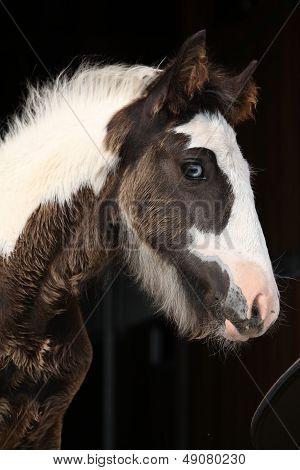 Nice Irish Cob Foal On Black Background